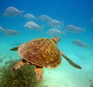 Green Turtle at Heron Island